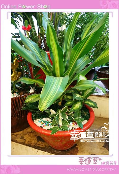 龍雪樹盆栽E0209