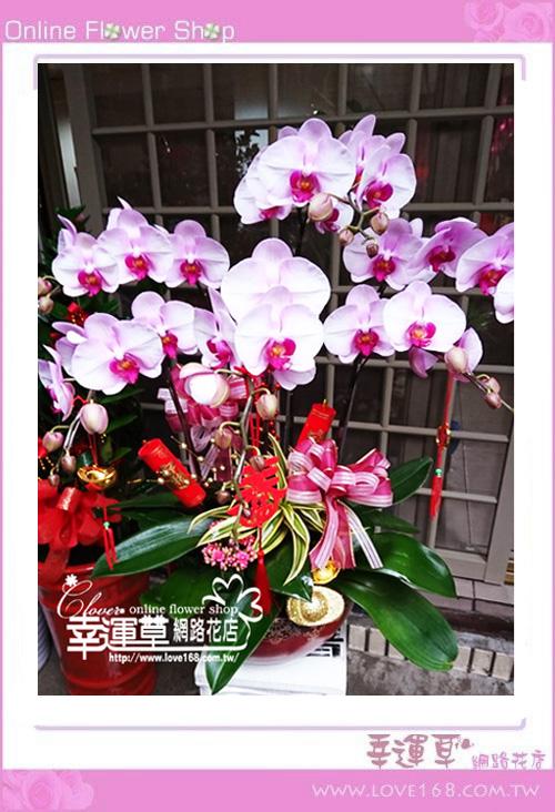 D0114優質蘭花6株
