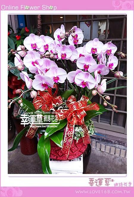 D88優質蘭花8株
