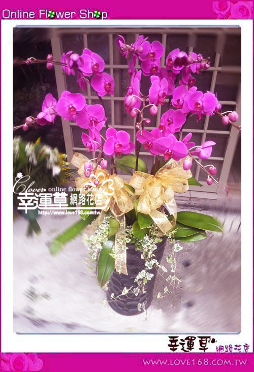 D046優質蘭花8株