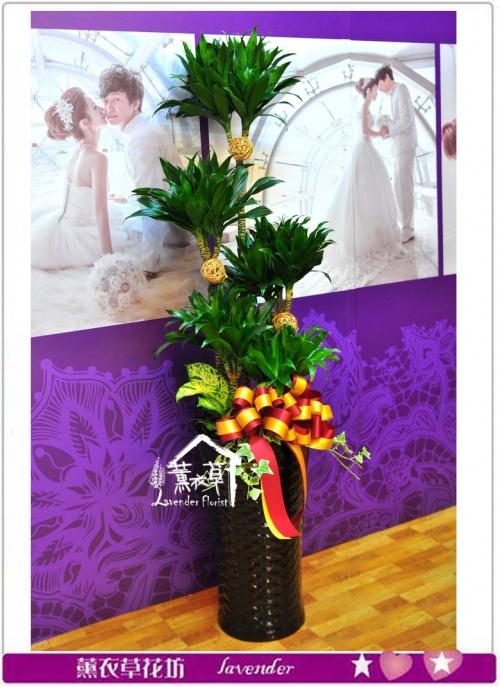 阿波羅盆栽a010508