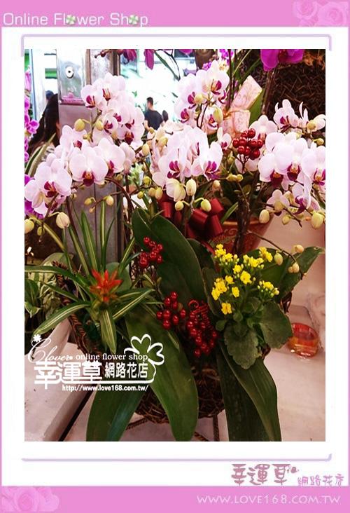 D1225優質蘭花6株
