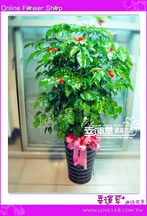 E29招財樹盆栽