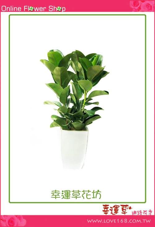 E40橡膠樹盆栽