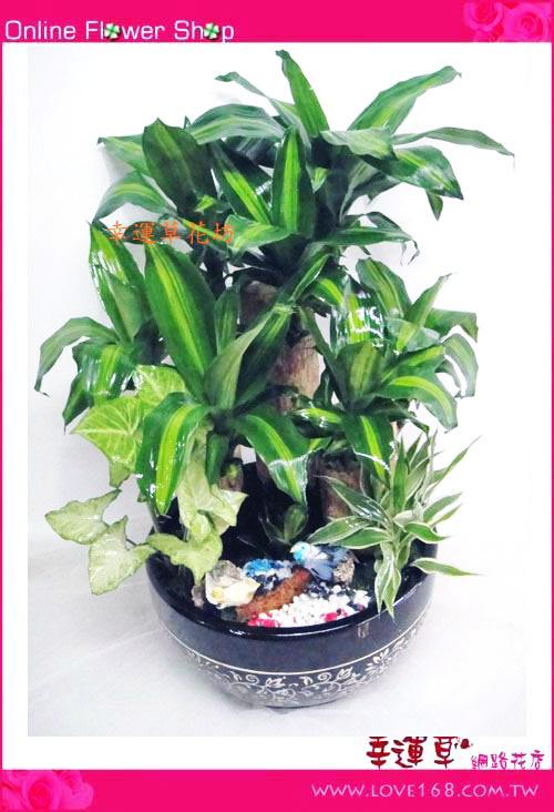 E63巴西鐵樹盆栽