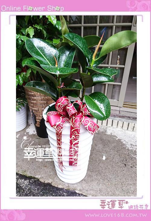 橡膠樹盆栽E0305