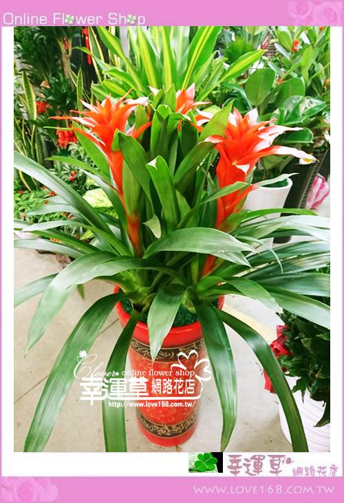 鳳梨花盆栽~新年限定