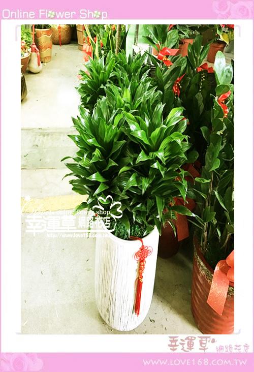 E023阿波羅盆栽