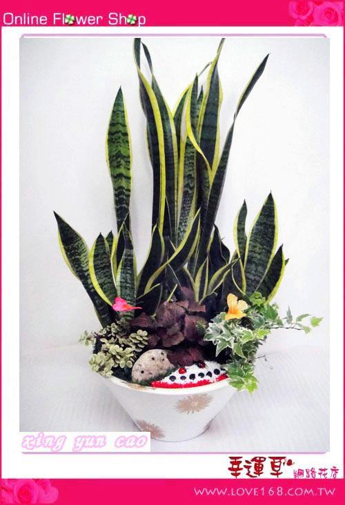 E45虎尾蘭盆栽