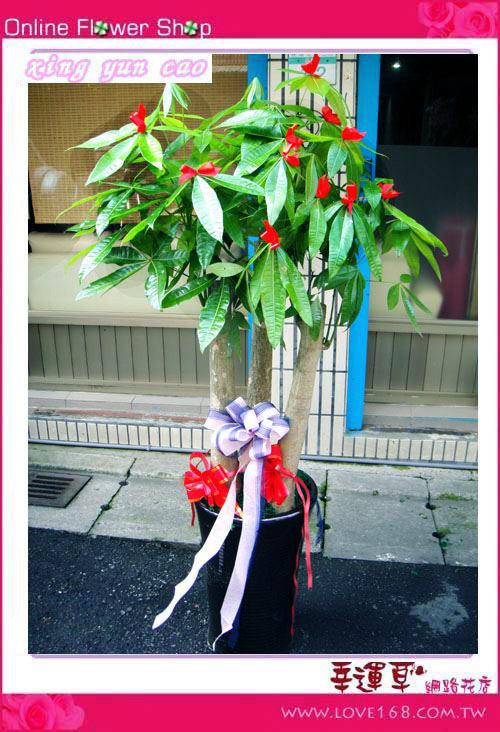 E25發財樹盆栽