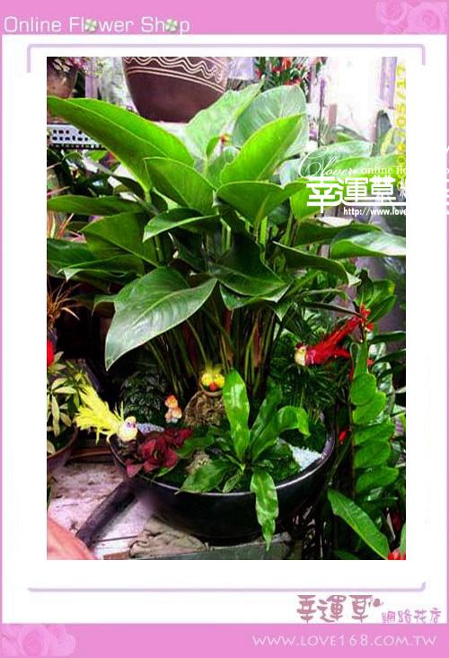 E503綠鑽組合盆栽