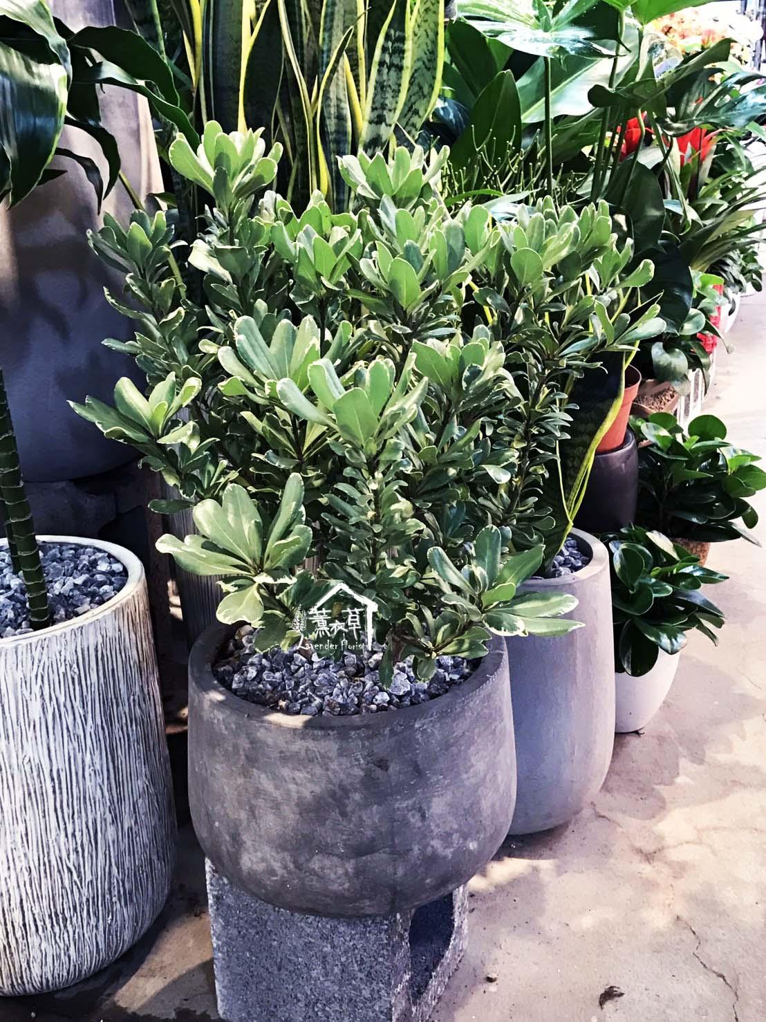 海棠盆栽106030609