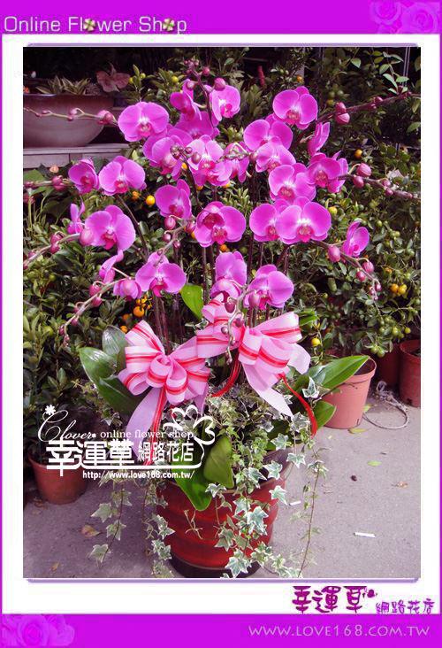 D052優質蘭花12株