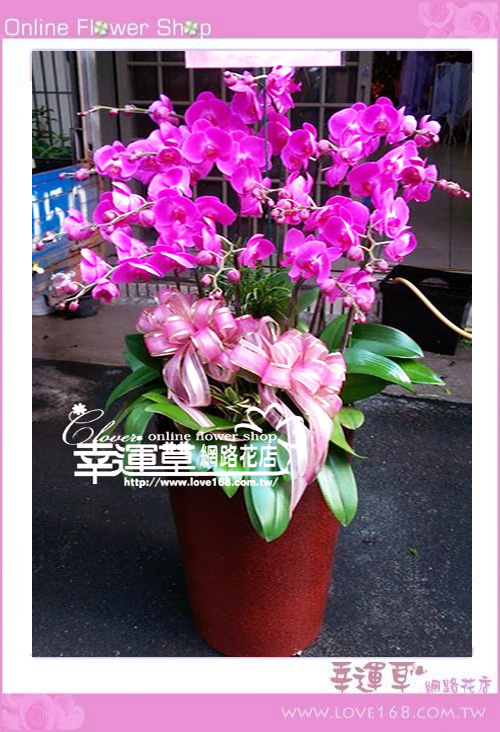 優質蘭花10株D1231