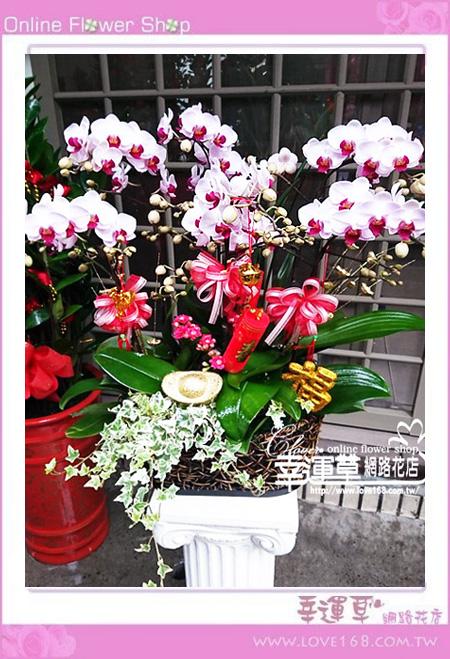 優質蘭花6株D0116