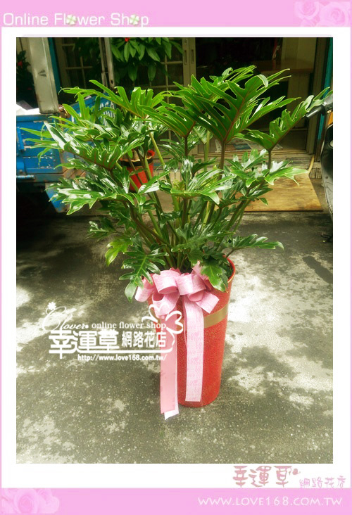 E97奧利多盆栽