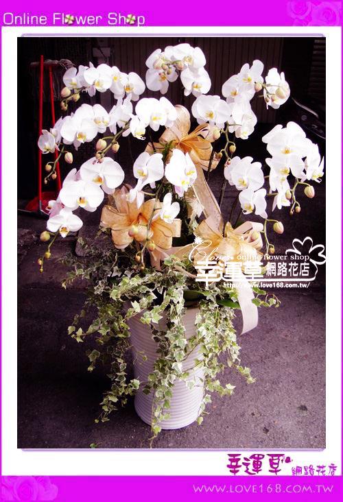D042優質蘭花10株