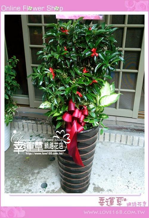 E0111黃金萬兩盆栽