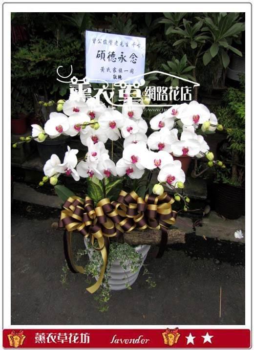 高雅蝴蝶蘭8株y30475