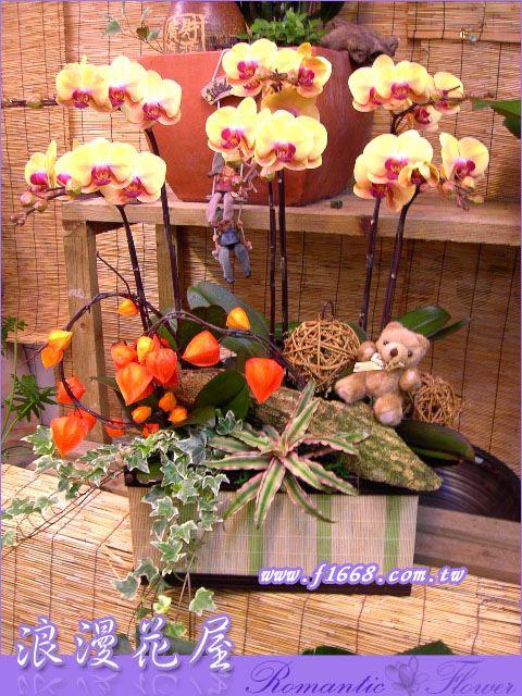 D29造型蝴蝶蘭