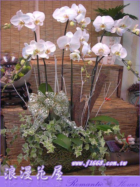 D12白色蝴蝶蘭盆栽