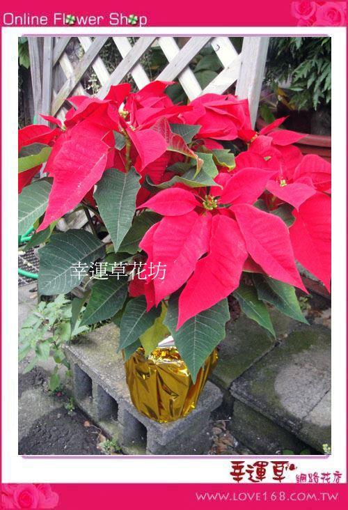 E16*聖誕紅盆栽*大型