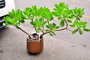 白水木盆栽B123007