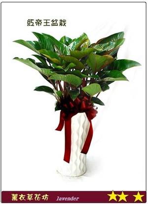 紅蔓綠蓉盆栽D357