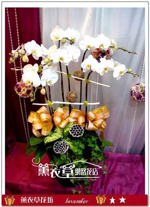 高雅蝴蝶蘭6朱y32403