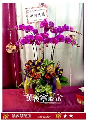 高雅蝴蝶蘭6朱y31713