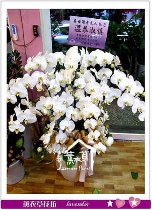 高雅蝴蝶蘭12朱aa671