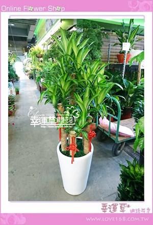 大型巴西盆栽E0809