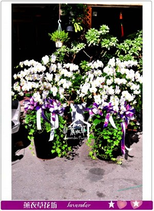 高雅蝴蝶蘭一盆c091603