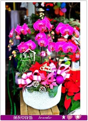 蝴蝶蘭盆栽c121529