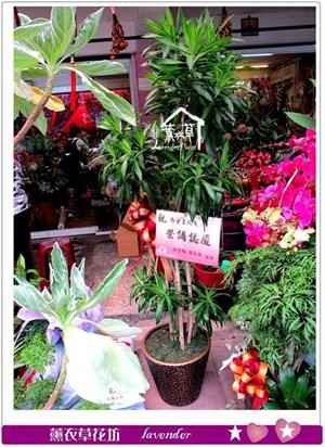 百合竹盆栽c080333