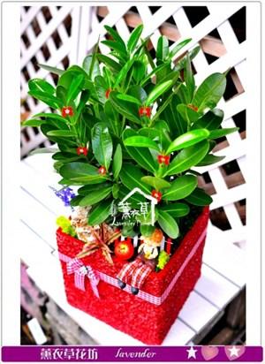 龍珠盆栽c100802