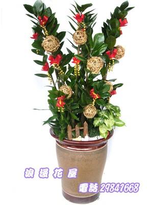金錢樹盆栽 3-93