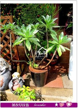 白水木盆栽c032815