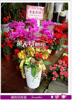 高雅蝴蝶蘭7株y33392