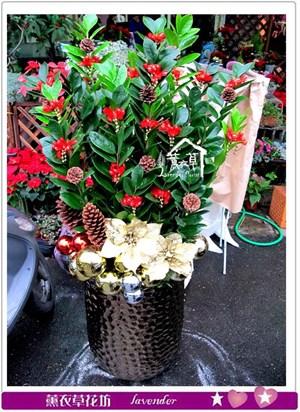 金錢樹盆栽b122101