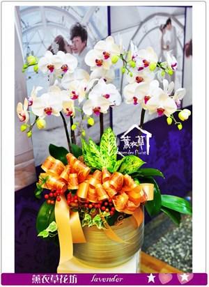 高雅蝴蝶蘭a080319