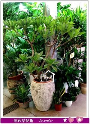 白水木盆栽c080901