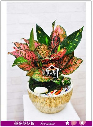彩葉盆栽b053115