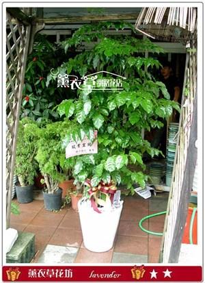 旺旺樹y31418