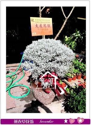 芙蓉盆栽aa5506