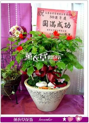 旺旺樹盆栽y31862