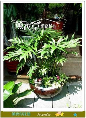 小天使盆栽y4042