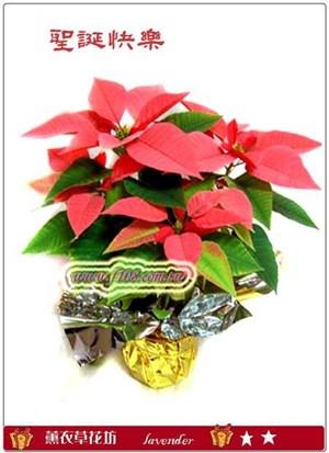 聖誕紅盆栽D106