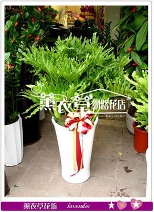 大天使盆栽y6652