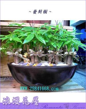 發財樹盆栽 3-28